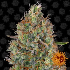 Sweet Tooth Auto™