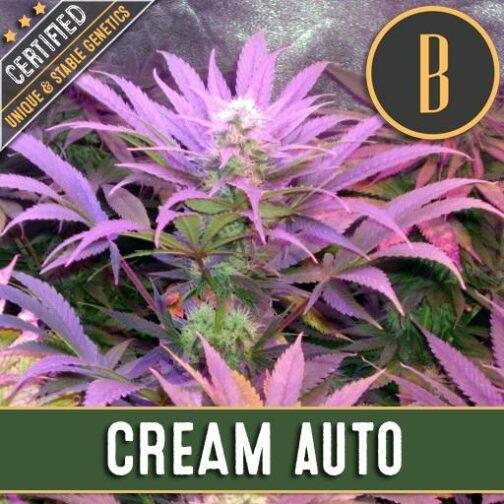 Cream Auto