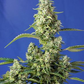 Gorilla Girl XL Auto®