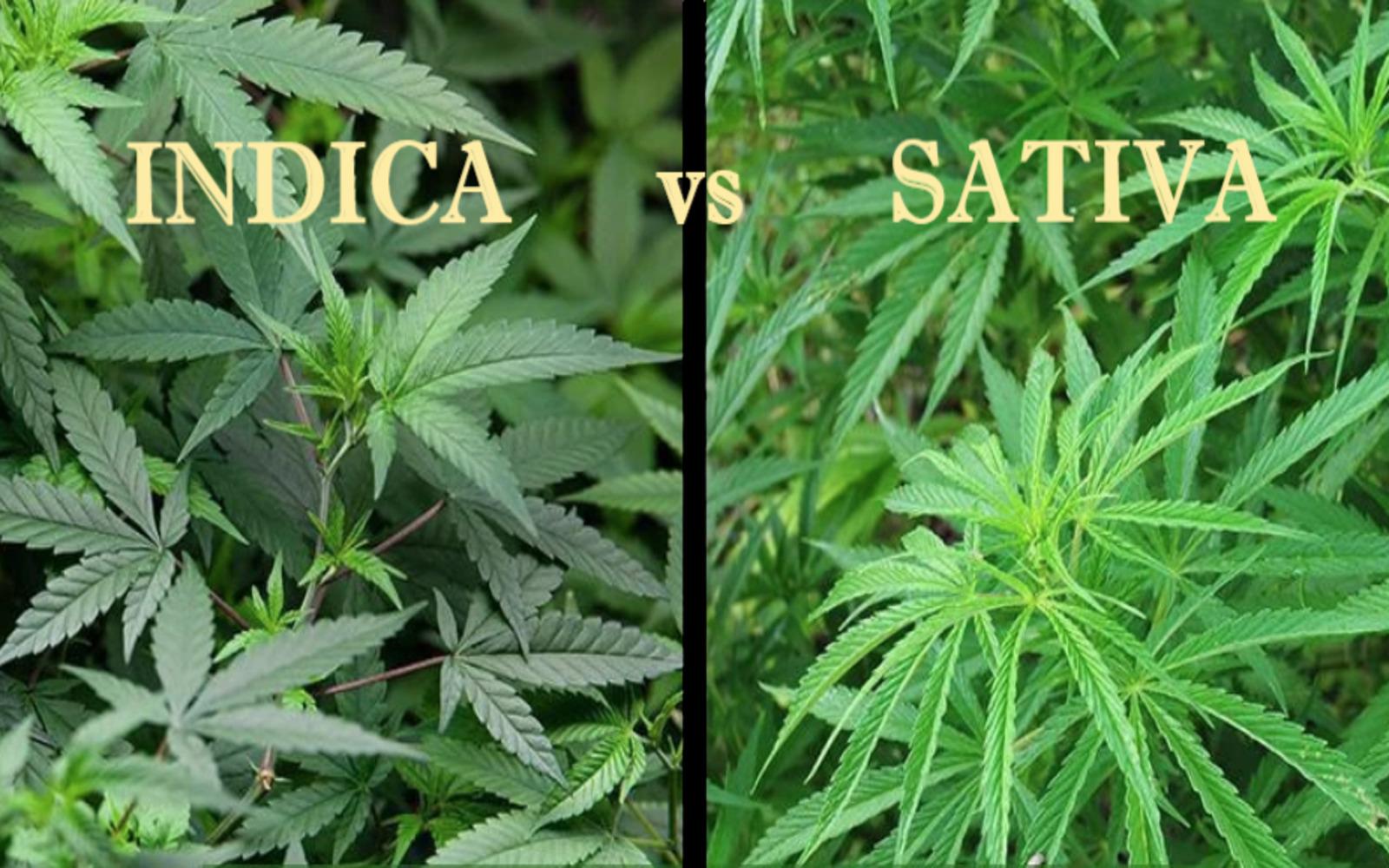 Indica vs Sativa: Κατανοώντας τις διαφορές τους!