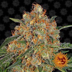 Orange Sherbert™